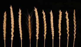 Ears of wheat. On the black background of the different varieties Stock Photo