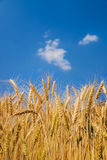 Ears of wheat on blue sky Stock Photo