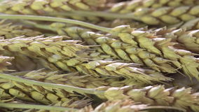Ears of Wheat stock video