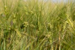 Ears of wheat close-up in a green field stock image