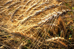 Golden wheat field details Stock Image