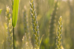 Ears of wheat closeup in the sunlight cornfield Background Royalty Free Stock Photos