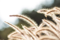 Ears wheat closeup Stock Photo
