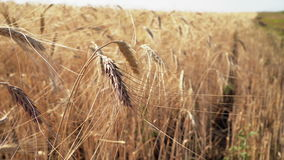 Ears of wheat at dawn. Wheat field in sunset. Ears of wheat close up. Harvest and harvesting concept. Field of golden wheat swaying. Nature landscape. Peaceful stock footage