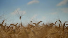 Ears of wheat at dawn. Wheat field in sunset. Ears of wheat close up. Harvest and harvesting concept. Field of golden wheat swaying. Nature landscape. Peaceful stock video footage