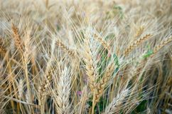 Ears of wheat details Stock Photography