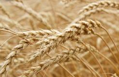 Ears of wheat. Ears of ripe wheat growing in a wheat field Stock Image