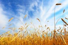 The ears of wheat. Farm field stock photography