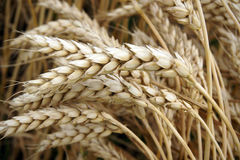 Ears of wheat Stock Photography