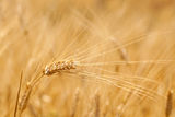 Ears of wheat in the field Stock Photography