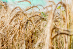 Ears Of Wheat. In a wheat field Royalty Free Stock Image