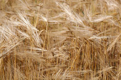 Ears wheat in field as a background. Royalty Free Stock Images