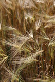 Ears wheat in a field as a background Royalty Free Stock Photo