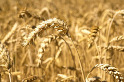 Ears of wheat field. Background Stock Photo