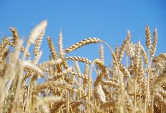 Ears of wheat. Wheat ears in the field and blue sky on the background Stock Photos