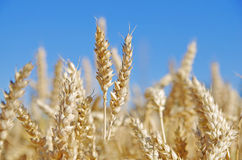 Ears of wheat. Wheat ears in the field and blue sky on the background Royalty Free Stock Image