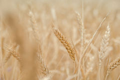 Ears of wheat on the field with blue sky. Close up,  focus on selected ears Stock Photos