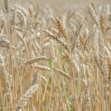 Ears of wheat on the field with blue sky. Focus on selected ears Royalty Free Stock Photography