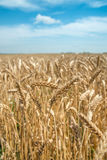 Ears of wheat on the field with blue sky. Focus on selected ears Royalty Free Stock Images
