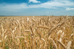 Ears of wheat on the field with blue sky. Field of wheat ears  and blue sky, focus on selected ears Stock Photo