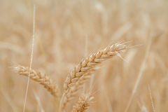 Ears of wheat on the field with blue sky. Ears of wheat on natural background, close up, selected focus Stock Photography