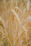 Ears of wheat on the field with blue sky. Ears of wheat on natural background, close up, selected focus Royalty Free Stock Photo