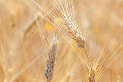 Ears of wheat in the field Royalty Free Stock Image