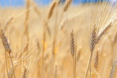 Ears of wheat in the field Stock Photos