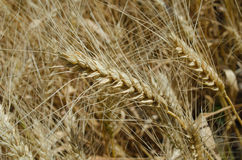Ears of wheat in the field close-up photo Stock Photography