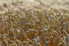 Ears of wheat in  field. Wheat crop in a field on top in close-up Stock Images