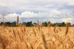 Ears of wheat Royalty Free Stock Photos