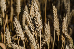 Ears of wheat in the field. A fragment of the wheat field in natural colours Stock Photo