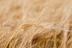 Ears of wheat on the field. Stock Image