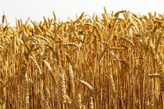 Ears of wheat on the field. Stock Photography