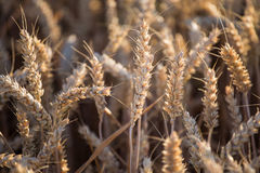 Ears of wheat on the field Royalty Free Stock Photos