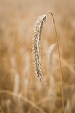 Ears of wheat on the field Stock Images
