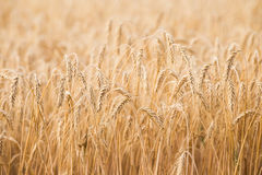 Ears of wheat on the field Stock Photos