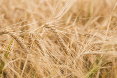 Ears of wheat on the field Royalty Free Stock Photography