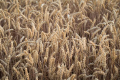 Ears of wheat on the field Stock Photography