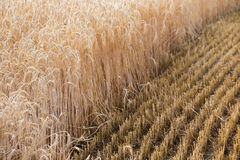 Ears of wheat on the field. Stock Photo