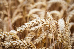 Ears of wheat on the field. Royalty Free Stock Photography