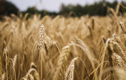Ears of wheat on the field Royalty Free Stock Photo
