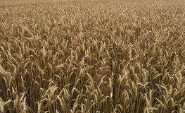 Ears of wheat on the field Stock Image