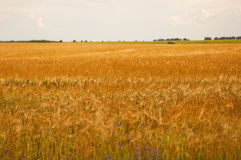Ears of wheat field Stock Image