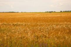 Ears of wheat field Stock Image
