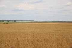 Ears of wheat field Royalty Free Stock Photos
