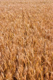 Ears of wheat field Stock Images