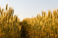 Ears of wheat. Field in summer Royalty Free Stock Photography