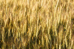 Ears of wheat. Field in summer Royalty Free Stock Images