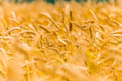 Ears of wheat on field Stock Photography